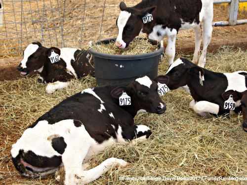 Calves at ISU Dairy Farm Ames Iowa