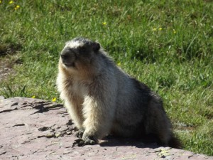 Marmot at Glacier National Park, Montana