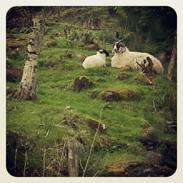 Irish Sheep, Inishowen Peninsula, County Donegal, Ireland