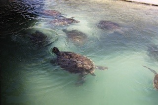 Green sea turtles at Cayman Turtle Farm