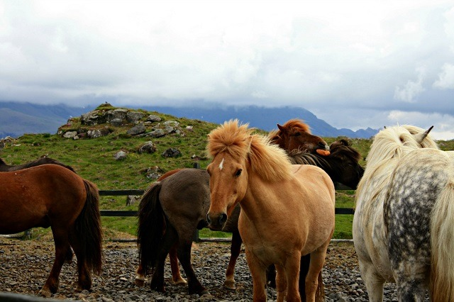An Iceland Vacation Experienced From the Back of an Icelandic Horse