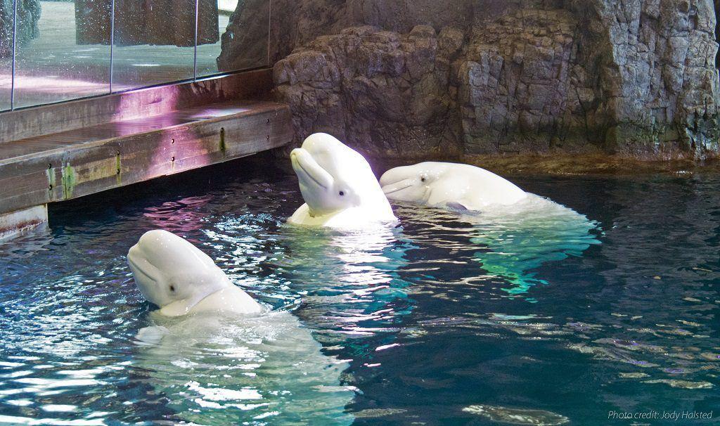 Beluga Whales at Shedd Aquarium. Photo by Jody Halsted, Halsted Enterprises, Inc.