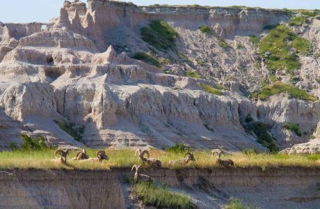 Big Horn Sheep in Badlands National Park, South Dakota