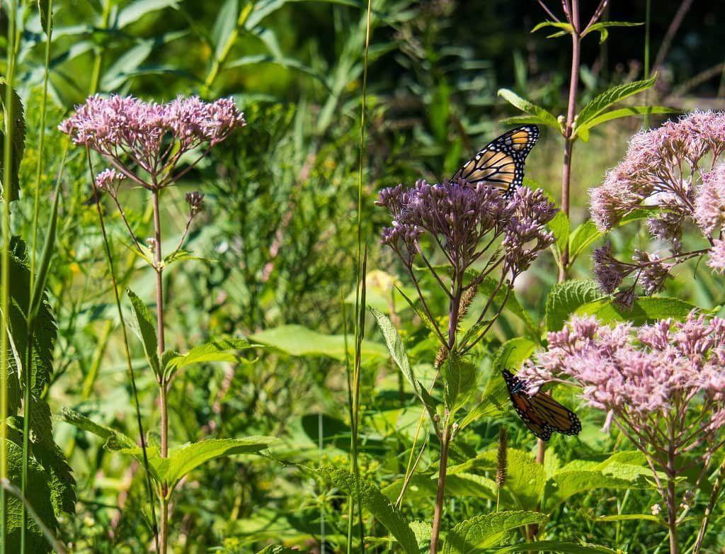 Monarch butterflies at Ridges Sanctuary, Door County, Wisconsin