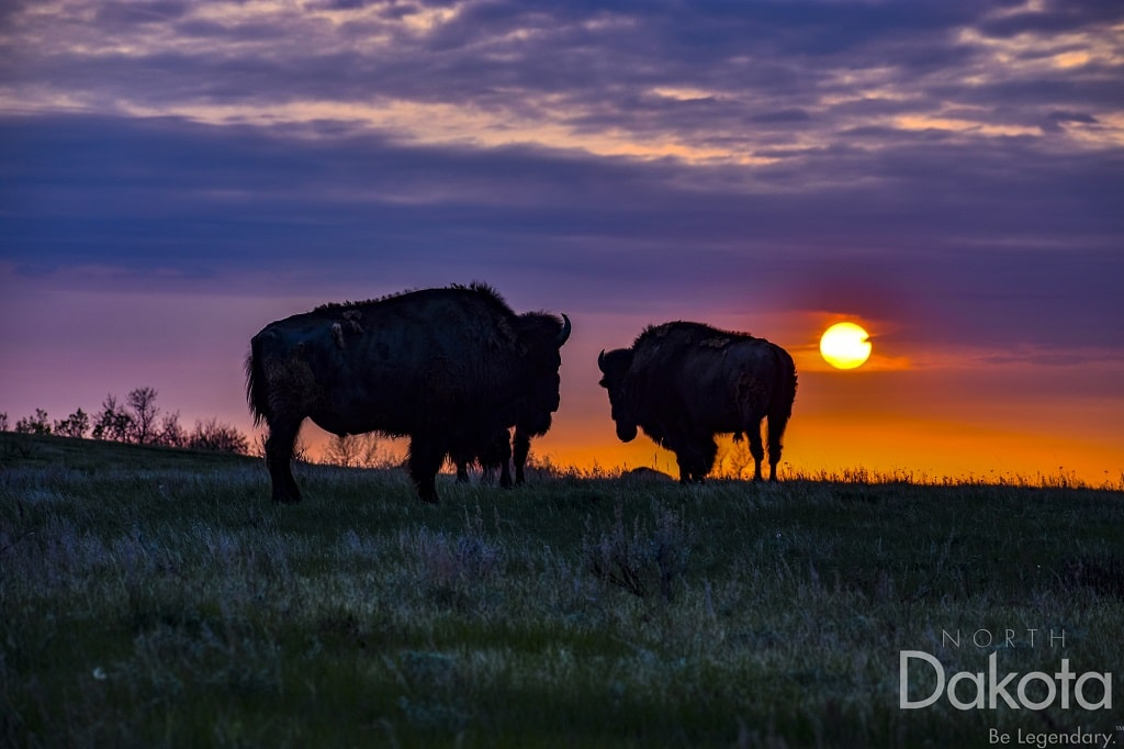 bison photo courtesy of ND Tourism