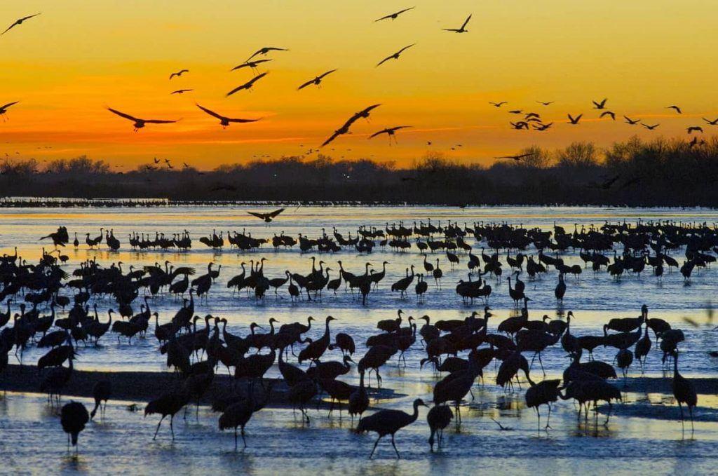 Sandhill Crane Migration, central Nebraska