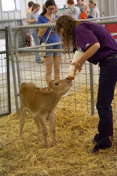 bottle feeding calf at Kansas State Fair