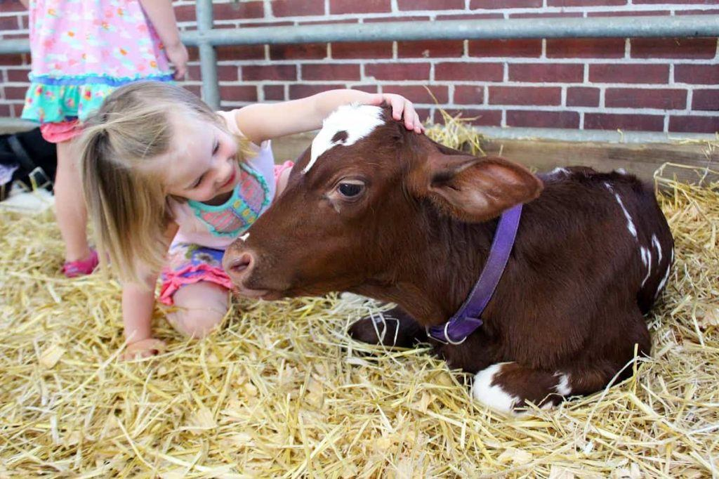 girl_and_calf_Indiana_State_Fair