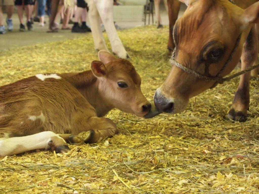 Iowa_State_Fair_cow_calf-livestock_building