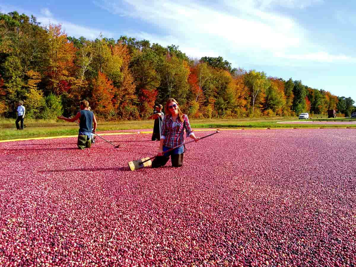 Morgan_raking_fall_colors_Wisconsin_Cranberry_Highway