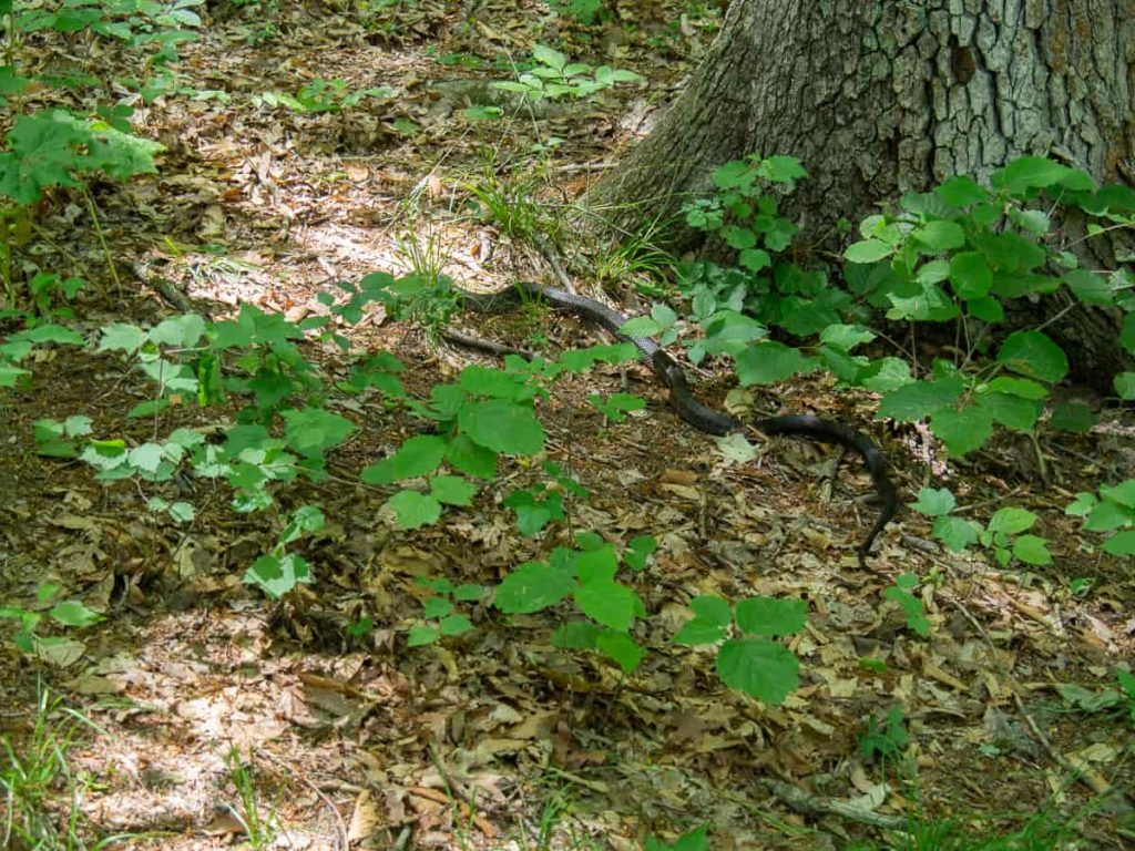 snake_Mohicans_State_Park_Ohio