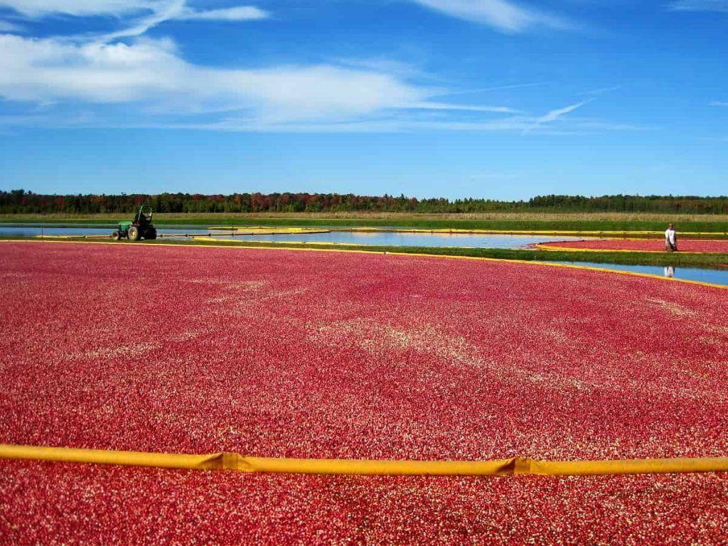 cranberry_harvest_Wisconsin_Cranberry_Highway